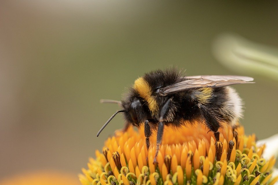 Climate Chaos to Blame For Bumblebee Decline