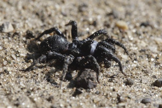 Sphodros niger, commonly known as Black Purseweb Spider