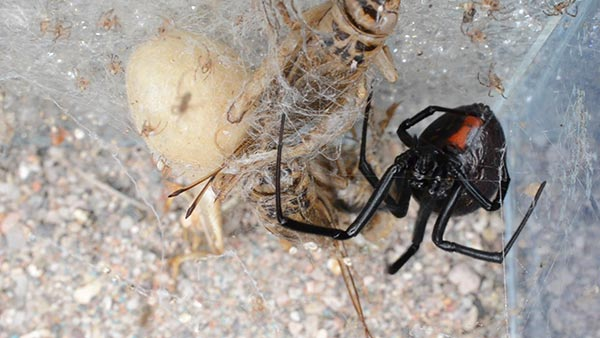 Female Black widow spider with hatching egg