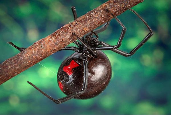Climate Change Brings Black Widow Spiders to Canada