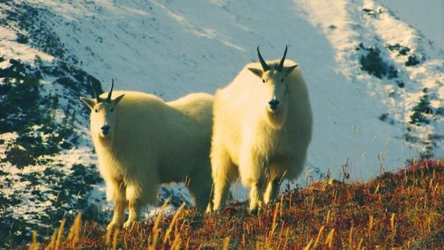 Mountain goats in Yukon