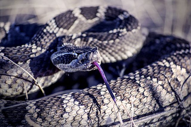 Saving British Columbia's Rattlesnakes