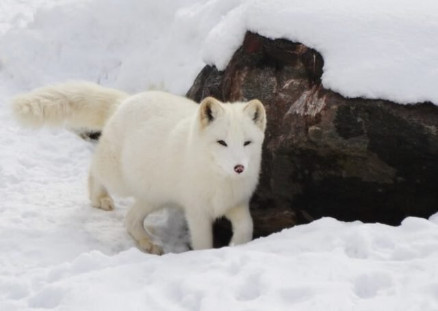 Arctic Fox Walks From Norway To Canada