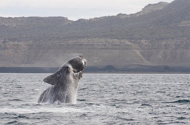 Researchers Discuss Right Whale Plight