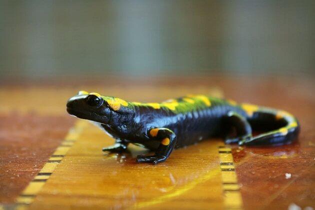 Authorities Ignore Illegal Salamander Sales