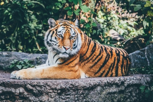 Bronx Zoo Reports Covid-19 Symptoms In Tiger